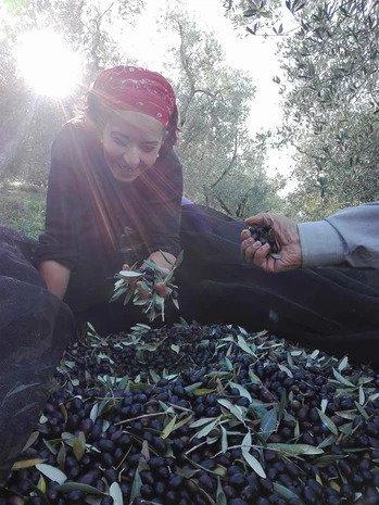 Olive sopra a un telo di raccolta e una ragazza che ne tiene alcune in mano